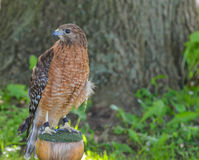 Red Shoulder Hawk looking at me with other eye Stock Images
