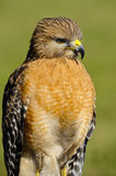 Red Shoulder Hawk Royalty Free Stock Photography