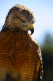 Red Shoulder Hawk Royalty Free Stock Images