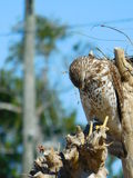 Red shoulder hawk in tree. This was taken in mid morning on a bright sunny day in florida Stock Photos