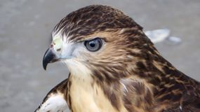 Red shoulder hawk. Wounded head shot beak features eyes Royalty Free Stock Images