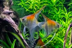 Red shoulder moon fishes swimming in the water together, tropical fishes from Rio Manacapuru stock photography