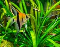 Red shoulder moonfish in closeup, A exotic aquarium pet from Rio Manacapuru royalty free stock photos