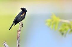 Red-shouldered Blackbird (Agelaius assimilis) Royalty Free Stock Photo