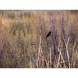 Red-shouldered Blackbird Bosque del Apache Wildlife Refuge royalty free stock images