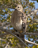 Red shouldered hawk. Waiting for prey Royalty Free Stock Photo