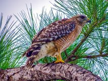 Red-shouldered hawk looking down at the wetlands, hoping to spot lunch stock images