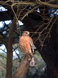 Red-shouldered hawk. Stock Photo