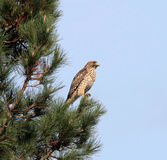 Red Shouldered Hawk. In a tree Royalty Free Stock Photos