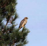 Red Shouldered Hawk. In a tree Stock Images