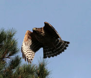 Red Shouldered Hawk. Flying from a tree Royalty Free Stock Images