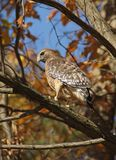Red-shouldered_hawk Royalty Free Stock Photos