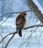 Red Shouldered Hawk Royalty Free Stock Images