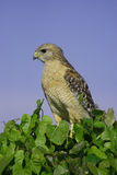 Red-shouldered Hawk Royalty Free Stock Photos