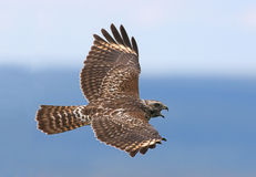 Red-shouldered Hawk. Juvenile Red-shouldered Hawk soaring during the fall migration Stock Images