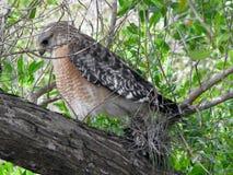 Red-Shouldered Hawk. Hawk Ding Darling Wildlife Refuge Sanibel Florida Stock Photo