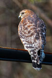 Red-Shouldered Hawk. Back and side view stock photography