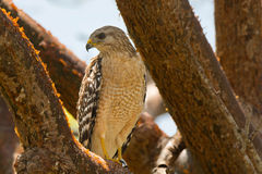Red-shouldered Hawk. A beautiful Red-shouldered Hawk perches in a tree while looking for prey in the Florida Everglades royalty free stock photography