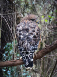 Red-shouldered Hawk from Behind Stock Photos