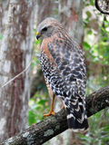 Red shouldered hawk on branch Royalty Free Stock Photo