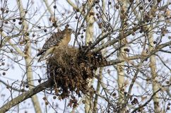 Red-shouldered Hawk building nest, Georgia, USA Royalty Free Stock Image