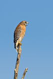 Red-shouldered Hawk (Buteo Lineatus) Stock Photography