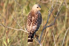 Red-shouldered Hawk (Buteo lineatus). In the Florida Everglades royalty free stock images