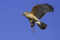 Red-shouldered Hawk (Buteo lineatus) Stock Photos