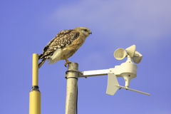 Red-shouldered Hawk (Buteo lineatus) Royalty Free Stock Photo