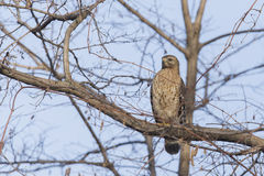 Red-shouldered Hawk Stock Images