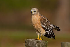 Red-shouldered Hawk (Buteo lineatus). Adult Red-shouldered Hawk perched on a wooden post stock image