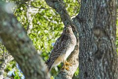 Red-shouldered Hawk Buteo lineatus in a tree in Windermere Florida camouflaged and matching perfectly the tree stock photos