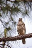 Red shouldered Hawk Buteo lineatus. Hunts for prey in the Corkscrew Swamp Sanctuary of Naples, Florida Royalty Free Stock Photo