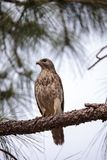 Red shouldered Hawk Buteo lineatus. Hunts for prey in the Corkscrew Swamp Sanctuary of Naples, Florida Royalty Free Stock Image