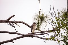 Red shouldered Hawk Buteo lineatus. Hunts for prey in the Corkscrew Swamp Sanctuary of Naples, Florida Stock Images