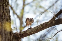 Red shouldered Hawk Buteo lineatus hunts for prey and eats. In the Corkscrew Swamp Sanctuary of Naples, Florida Stock Image