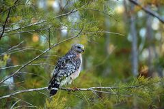 Red shouldered Hawk Buteo lineatus hunts for prey Royalty Free Stock Photography