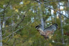 Red shouldered Hawk Buteo lineatus hunts for prey Stock Images