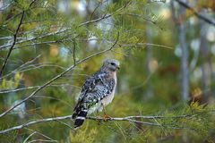 Red shouldered Hawk Buteo lineatus hunts for prey Royalty Free Stock Photo