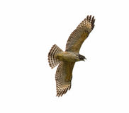 Red-shouldered Hawk. (Buteo lineatus) isolated white background Royalty Free Stock Images