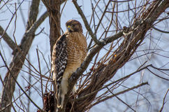 Red-shouldered Hawk. Red shouldered Hawk, Buteo lineatus, raptor, bird of prey, Walton County Georgia Stock Photos