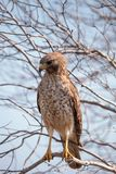 Red shouldered Hawk Buteo lineatus. Hunts for prey in the Corkscrew Swamp Sanctuary of Naples, Florida Stock Image