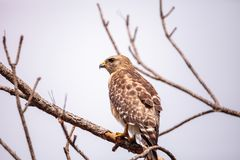 Red shouldered Hawk Buteo lineatus. Hunts for prey in the Corkscrew Swamp Sanctuary of Naples, Florida Stock Photography