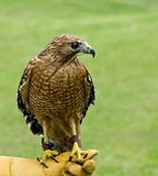 Red-shouldered Hawk (Buteo lineatus). On soft green background royalty free stock images