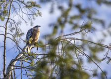 Red-Shouldered Hawk (Buteo lineatus). Spotted in California royalty free stock photography