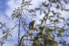 Red-Shouldered Hawk (Buteo lineatus). Spotted in California royalty free stock photo