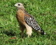 Red-shouldered Hawk (Buteo lineatus) Royalty Free Stock Images