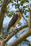 Red-shouldered Hawk (Buteo lineatus) royalty free stock image