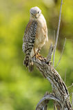 Red-shouldered Hawk (Buteo lineatus). On a tree stump - Arthur R Marshall, National Wildlife Reserve, Loxahatchee, Florida, USA royalty free stock photography