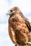 Red Shouldered Hawk captive Royalty Free Stock Images